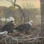 Decorah Eagles Nest Cam