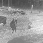 Bialowieza Forest Bison Cam