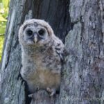 Barred Owl Nest Box Cam