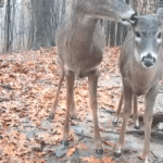 Live Pennsylvania Deer Cams