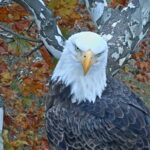 ND Leef Indiana Bald Eagle Cam