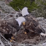 Santa Catalina Eagle Nest Cams