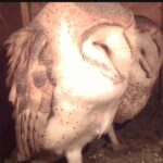 Oceanside Barn Owls