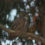 Great Horned Owl Cams