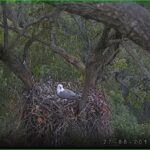 Live Sea Eagle Nest Cam