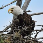 Minnesota DNR Bald Eagle Nest Cam