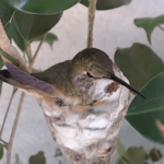 Hummingbird Nest Cam
