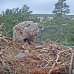 White Tailed Eagle Nest