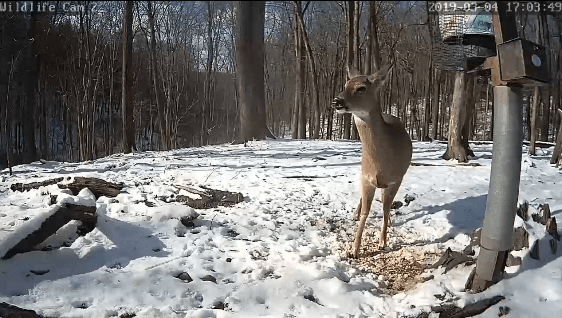 Screenshot_2019-03-04 Live Pennsylvania Deer Cam SPO.png